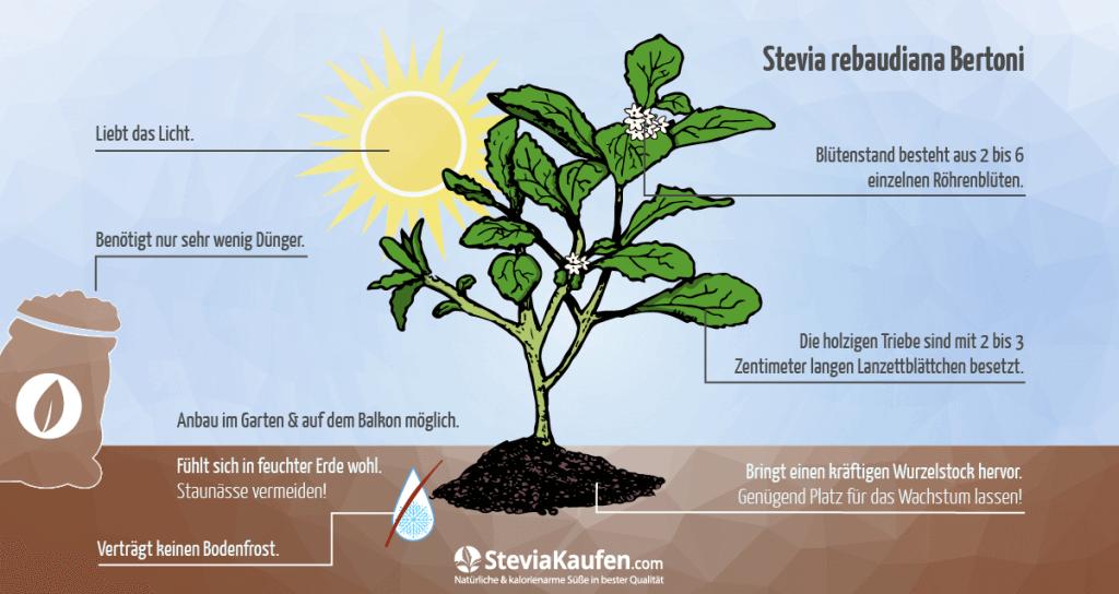 Anbau einer Stevia Pflanze