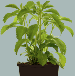 Stevia Pflanze im Blumentopf