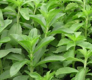 Stevia Pflanzen